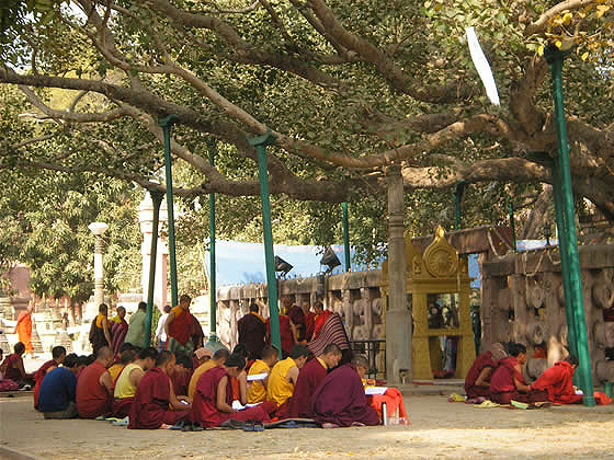 The bodhi tree Bodh Gaya